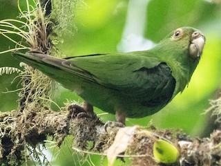 - Spot-winged Parrotlet
