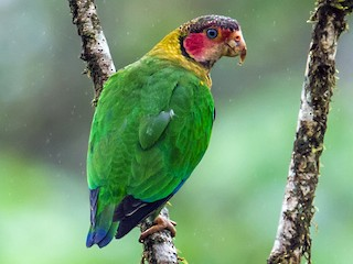 - Rose-faced Parrot
