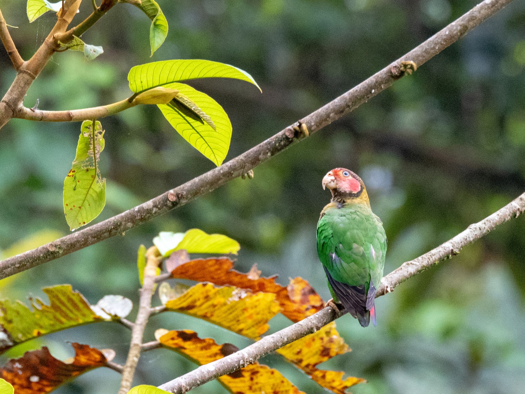 Rose-faced Parrot - Bob Hasenick