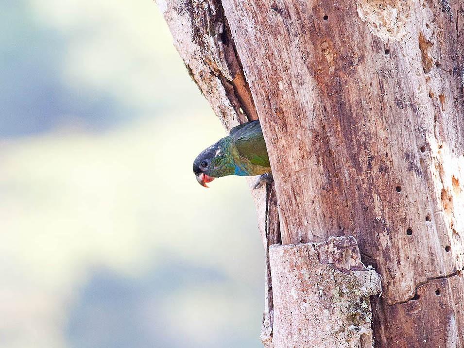 Red-billed Parrot - Horacio Luna
