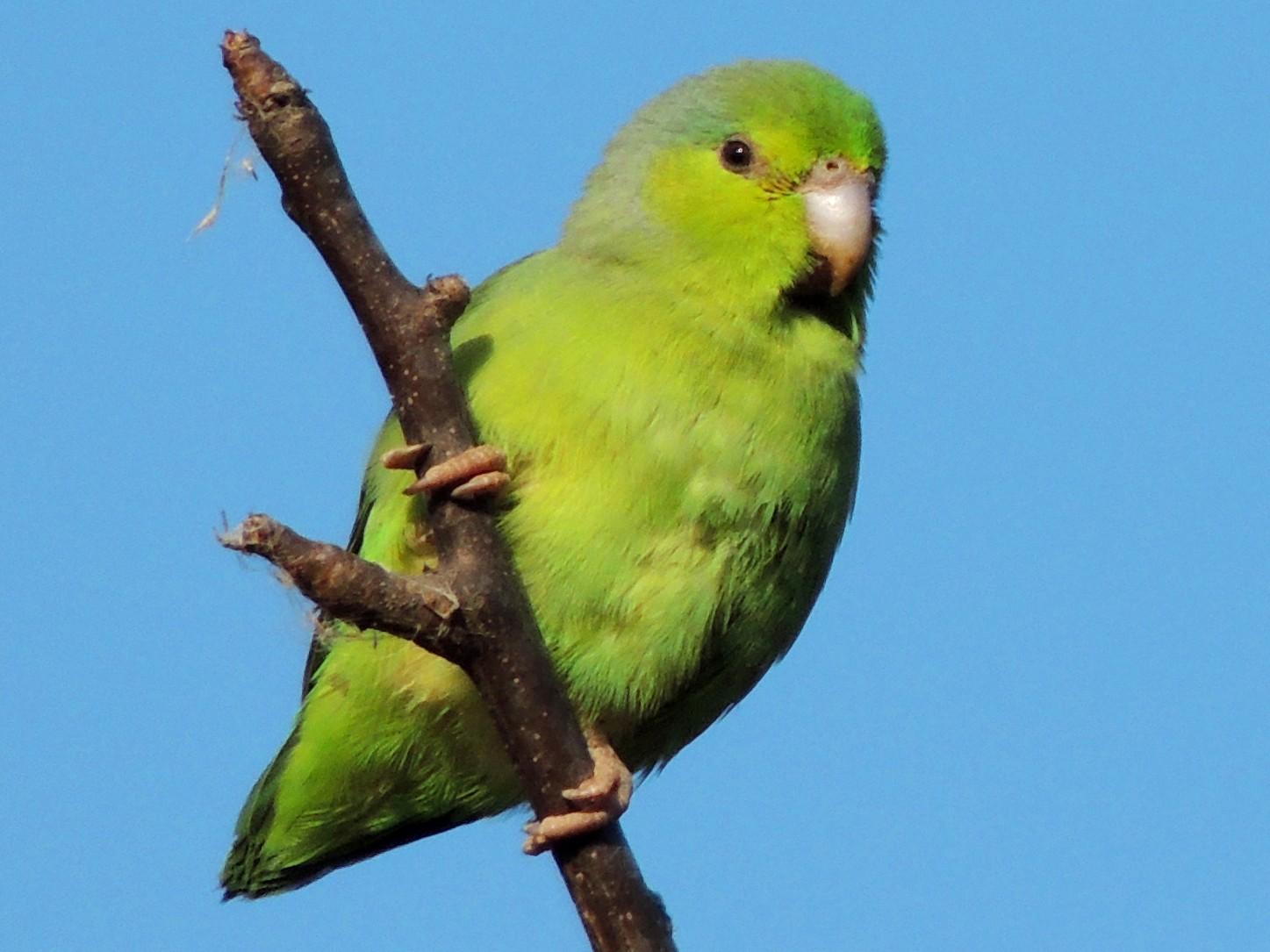 Pacific Parrotlet - Jorge Tiravanti