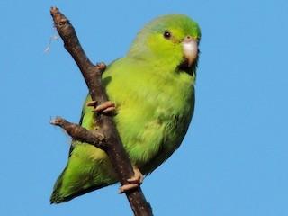 - Pacific Parrotlet