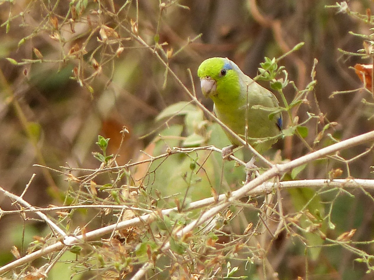 Pacific Parrotlet - David Bree