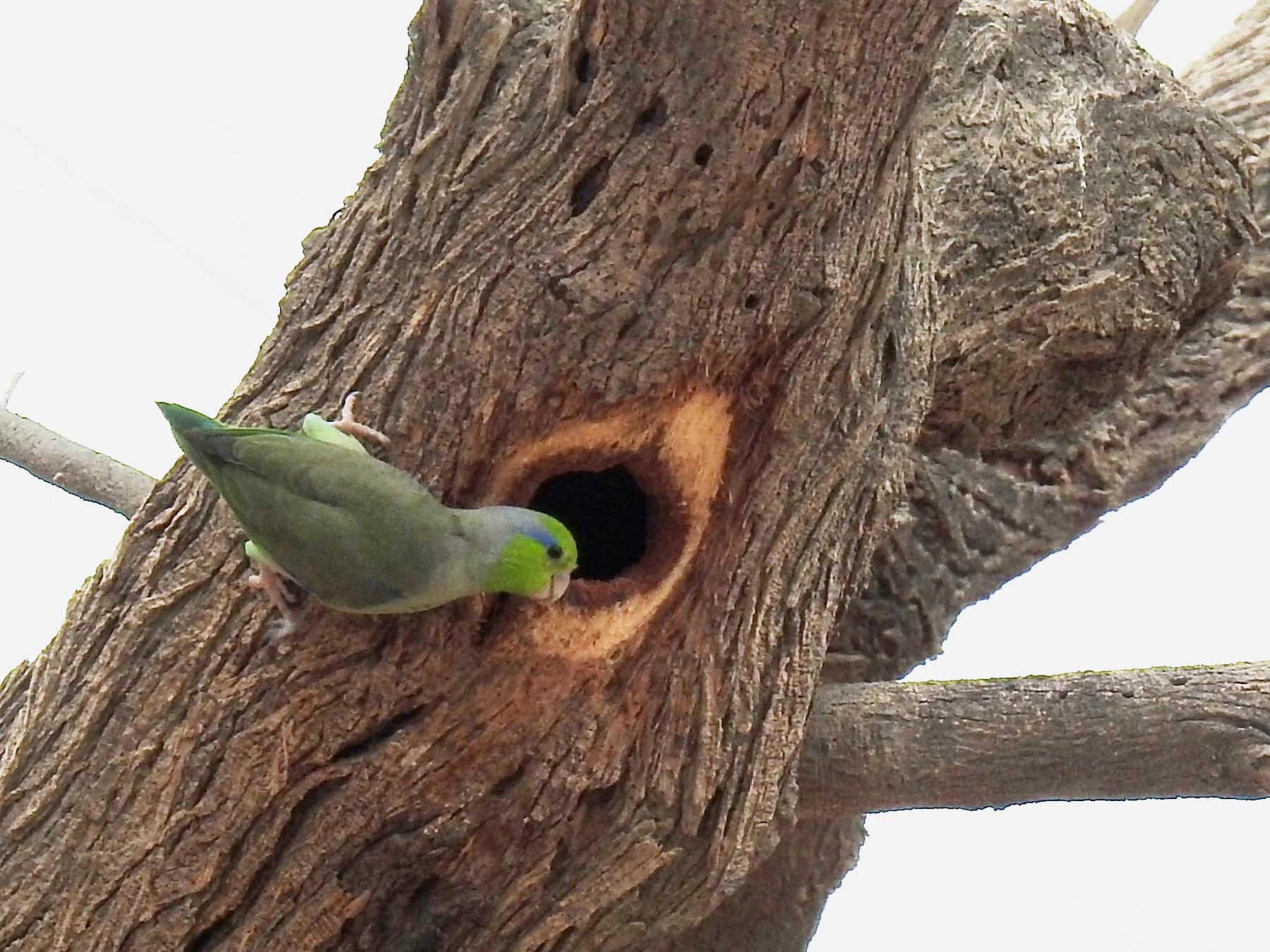 Pacific Parrotlet - Fernando Angulo - CORBIDI