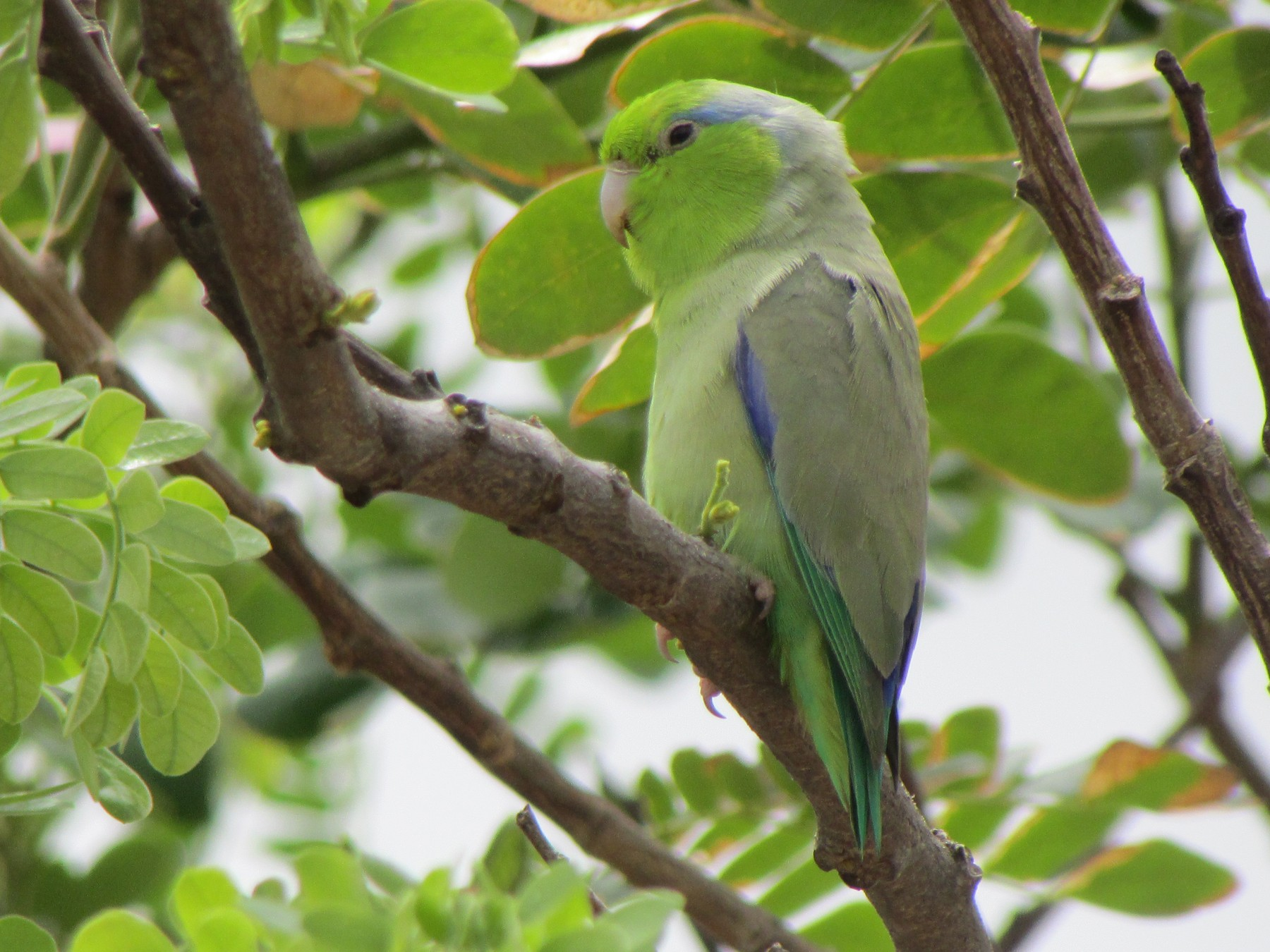 Pacific Parrotlet - Ariel Jiménez