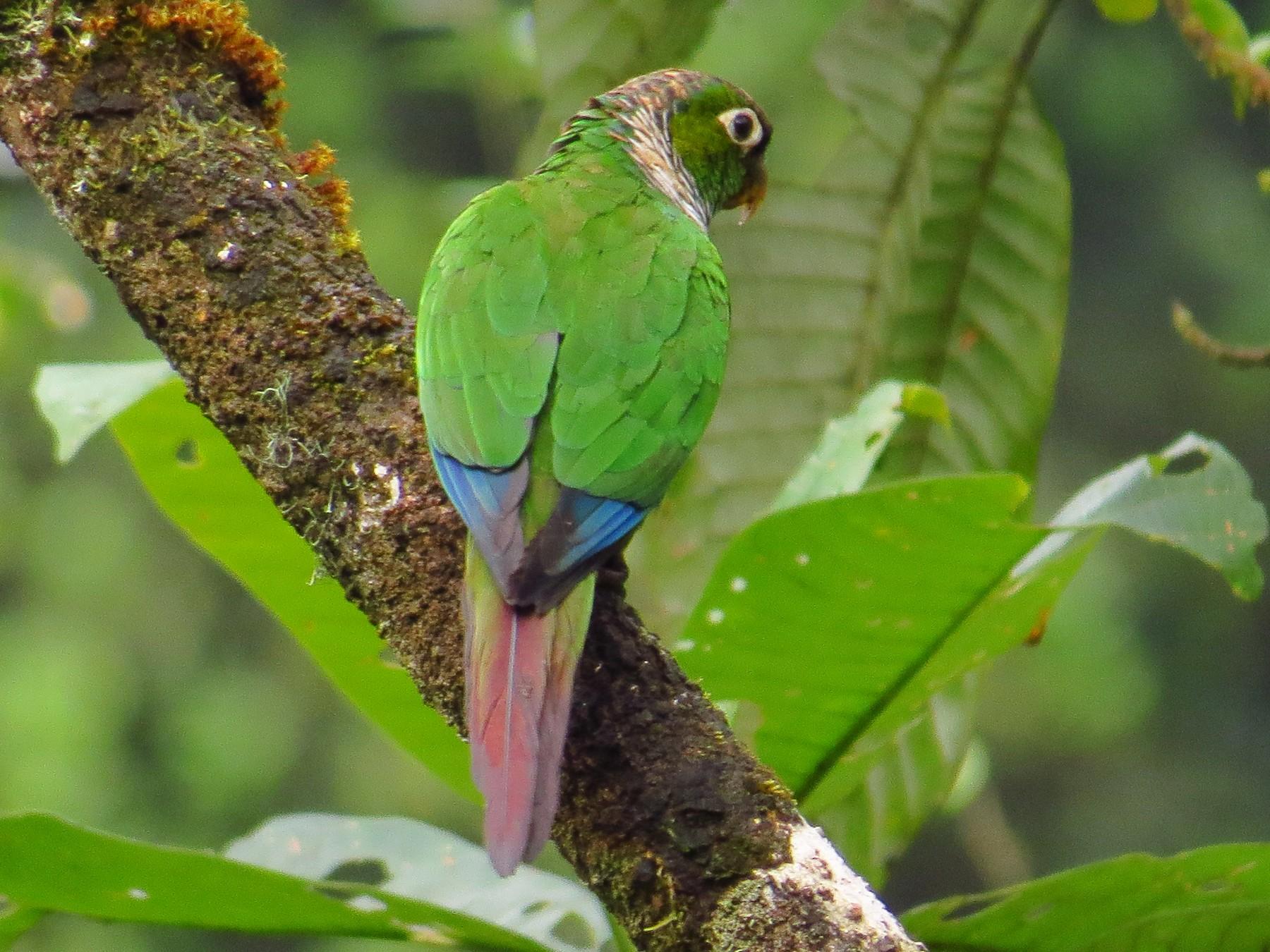 Maroon-tailed Parakeet - Jorge Muñoz García   CAQUETA BIRDING