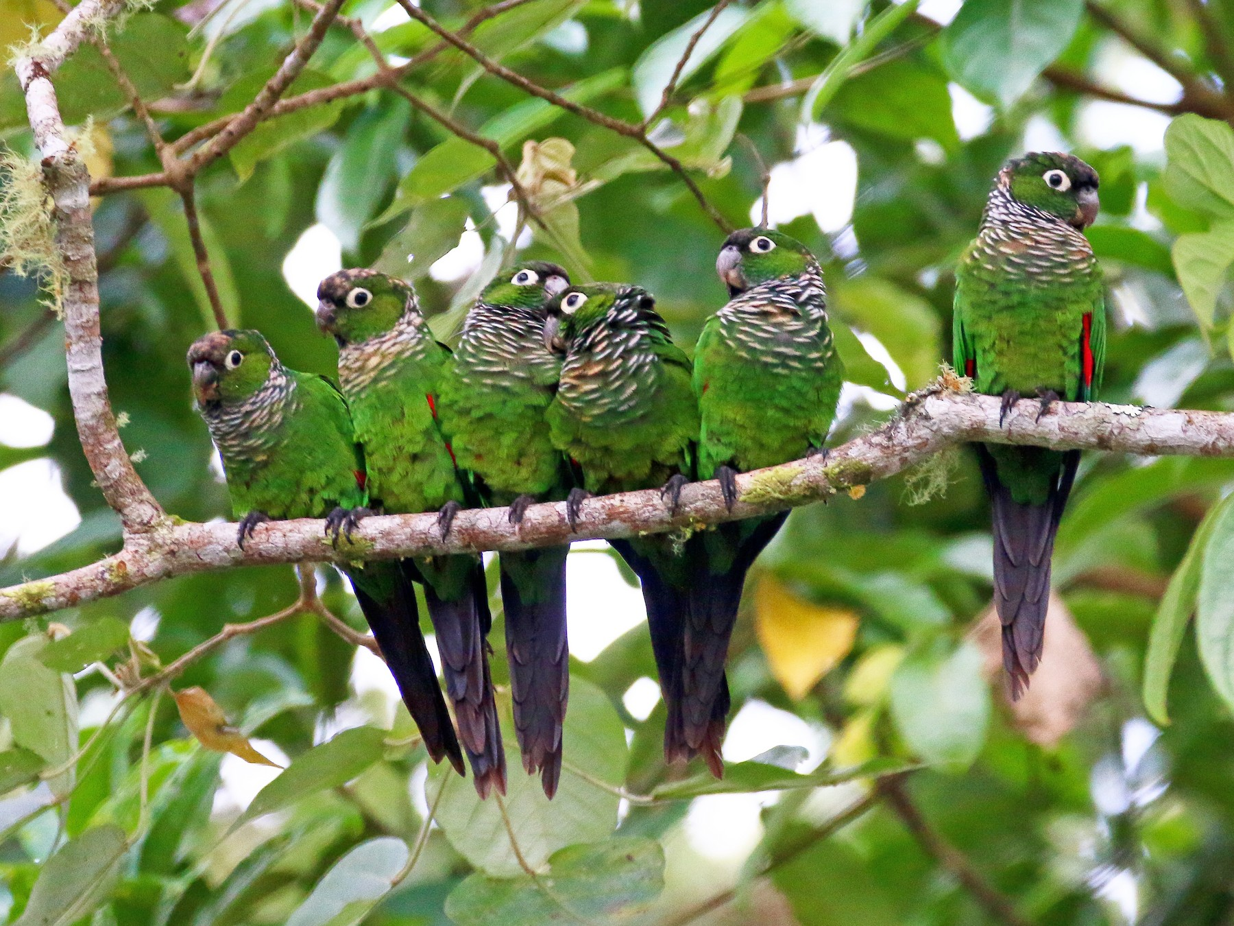 Maroon-tailed Parakeet - Devin Griffiths