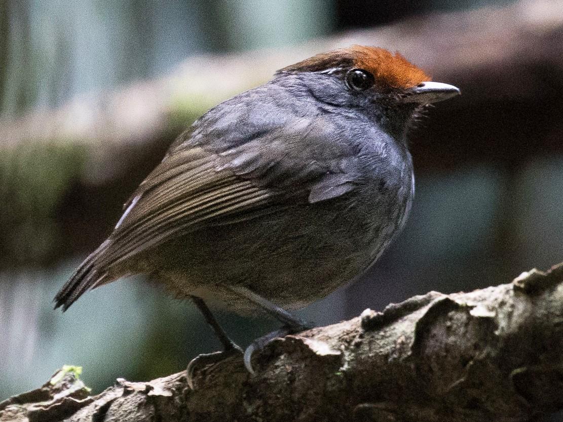 Chestnut-crowned Gnateater - Ken Chamberlain