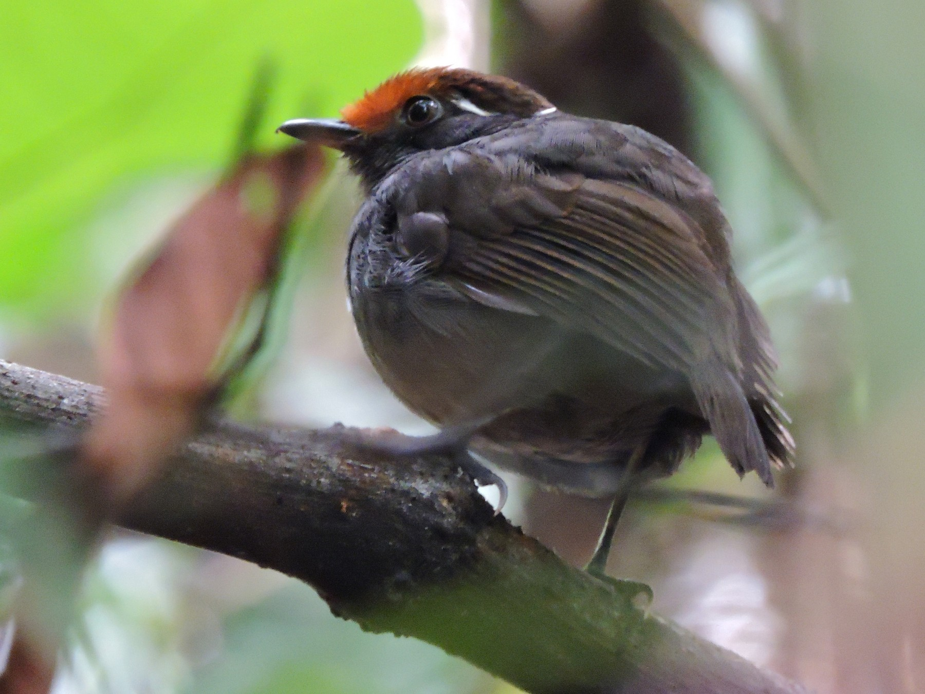 Chestnut-crowned Gnateater - Edwin Munera