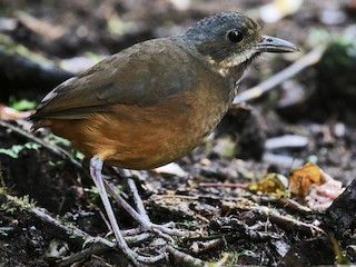 - Moustached Antpitta
