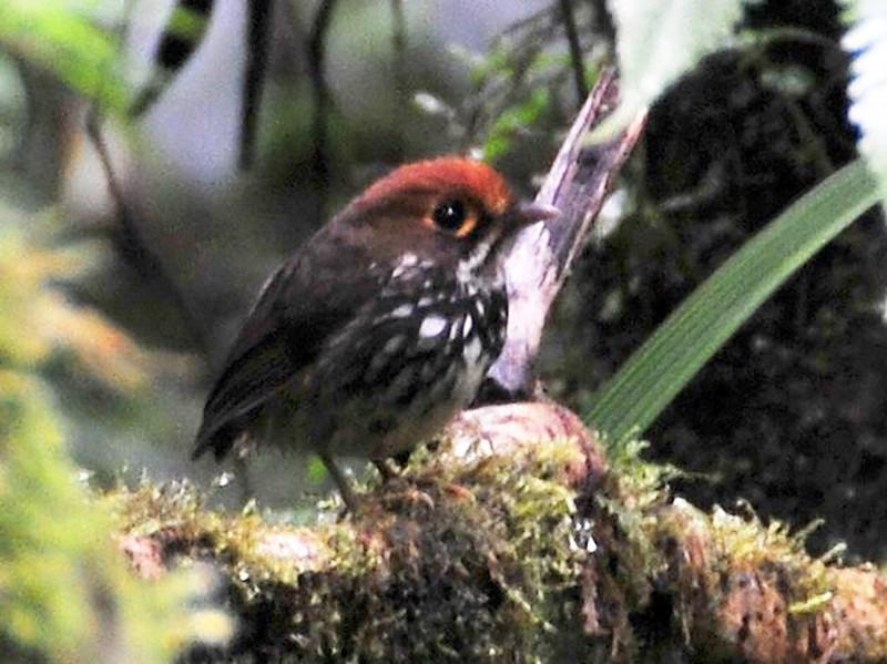 Peruvian Antpitta - Andrew Spencer