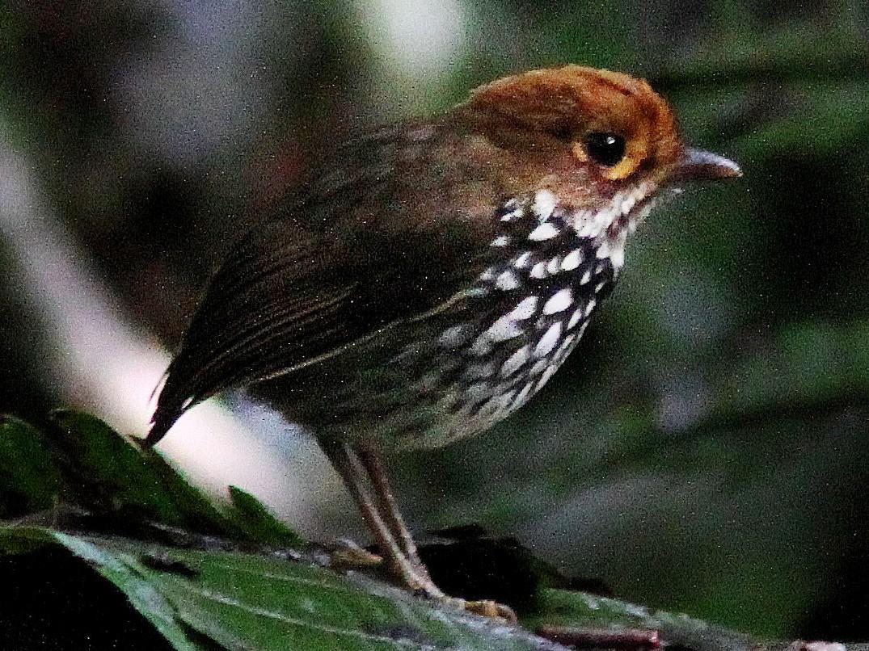 Peruvian Antpitta - Guy Poisson