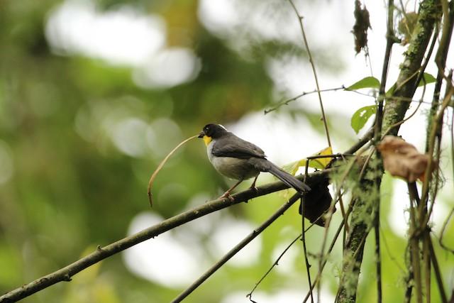 White-naped Brushfinch