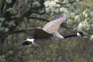 Canada Goose, ML159916701