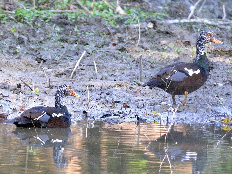 White-winged Duck - Snehasis Sinha