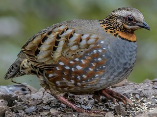 - Rufous-throated Partridge