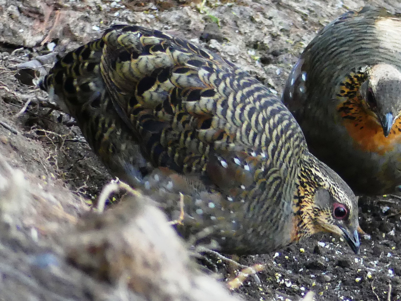 Rufous-throated Partridge - Shelley Rutkin