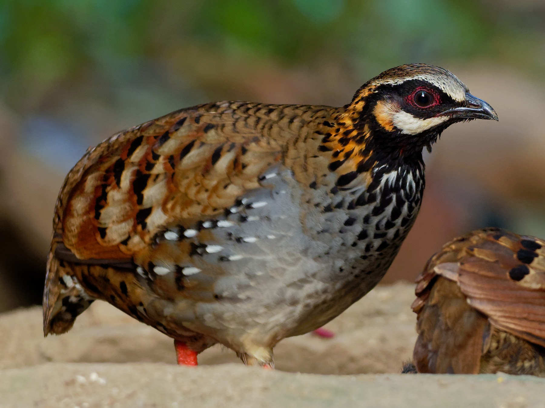 White-cheeked Partridge - Vincent Wang
