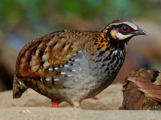 - White-cheeked Partridge