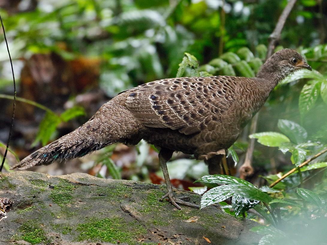 Gray Peacock-Pheasant - Sam Woods