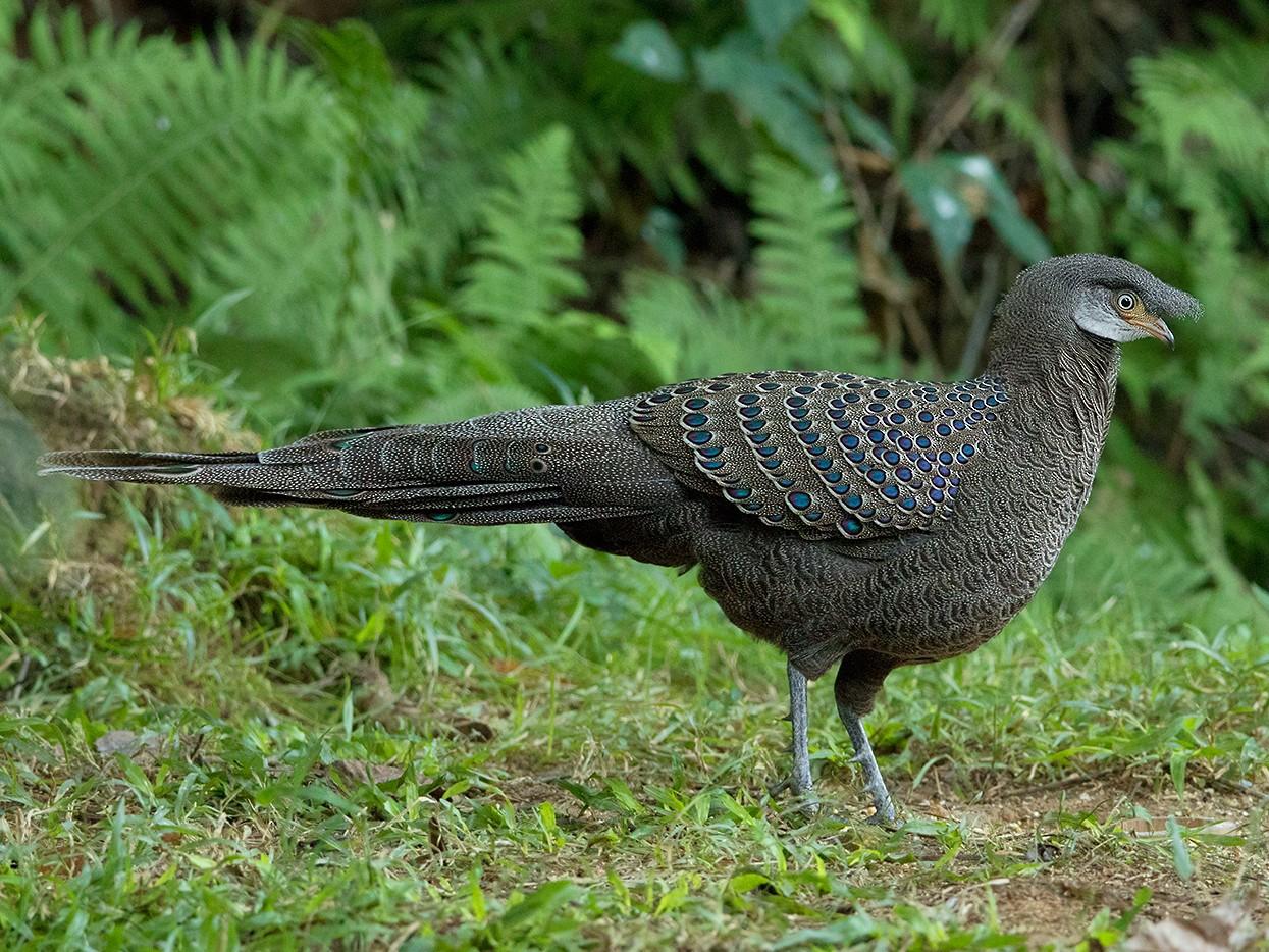 Gray Peacock-Pheasant - Ayuwat Jearwattanakanok