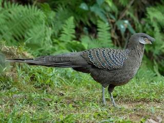 - Gray Peacock-Pheasant