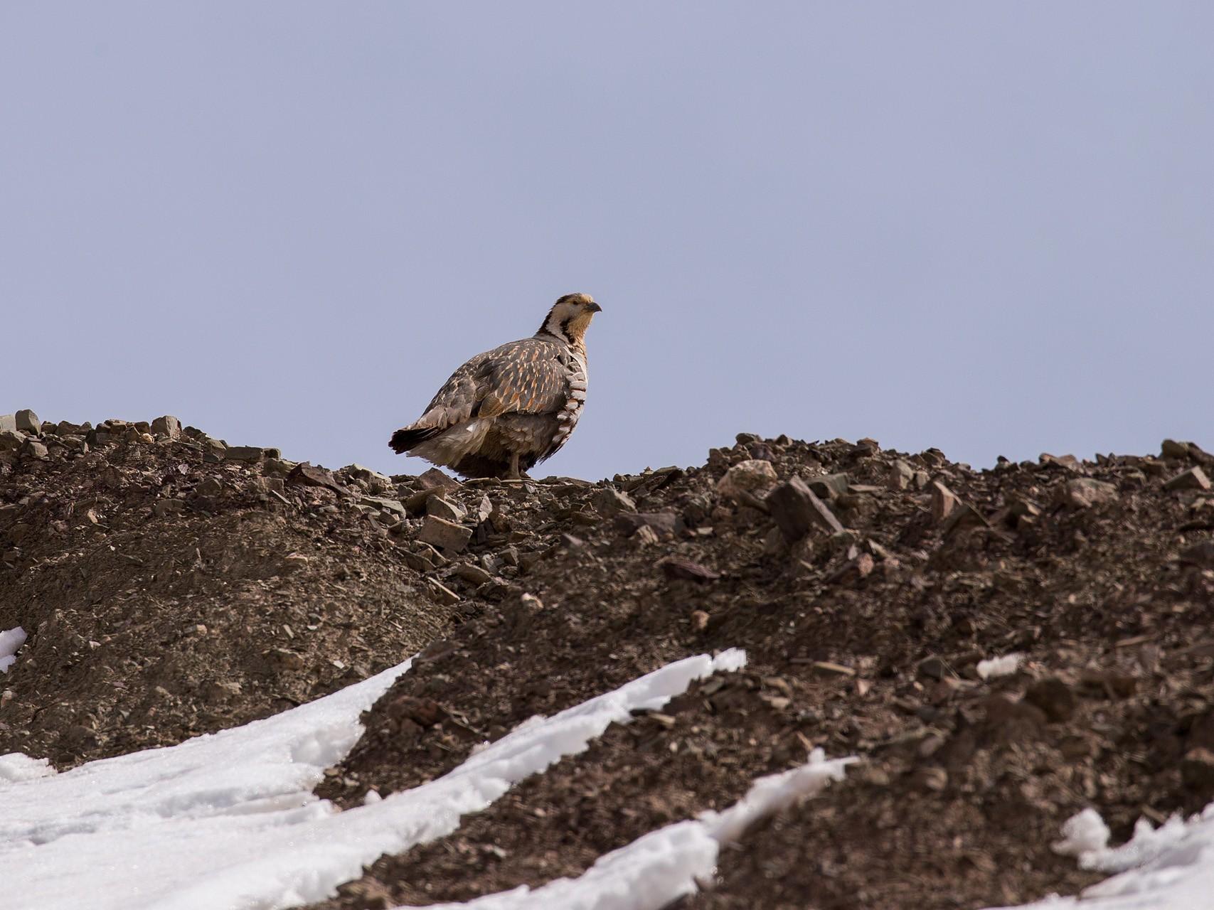Himalayan Snowcock - Saurabh Sawant