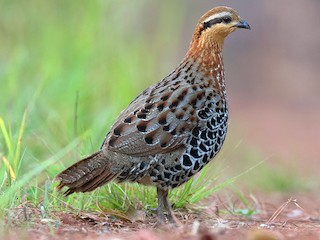 - Mountain Bamboo-Partridge