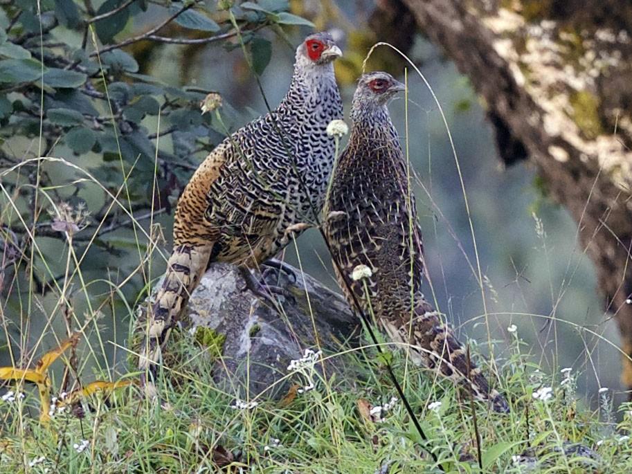 Cheer Pheasant - jaya samkutty