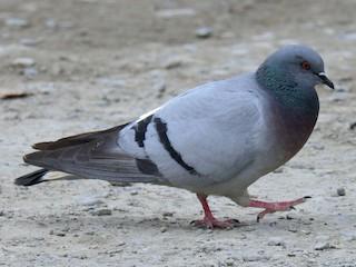 - Hill Pigeon