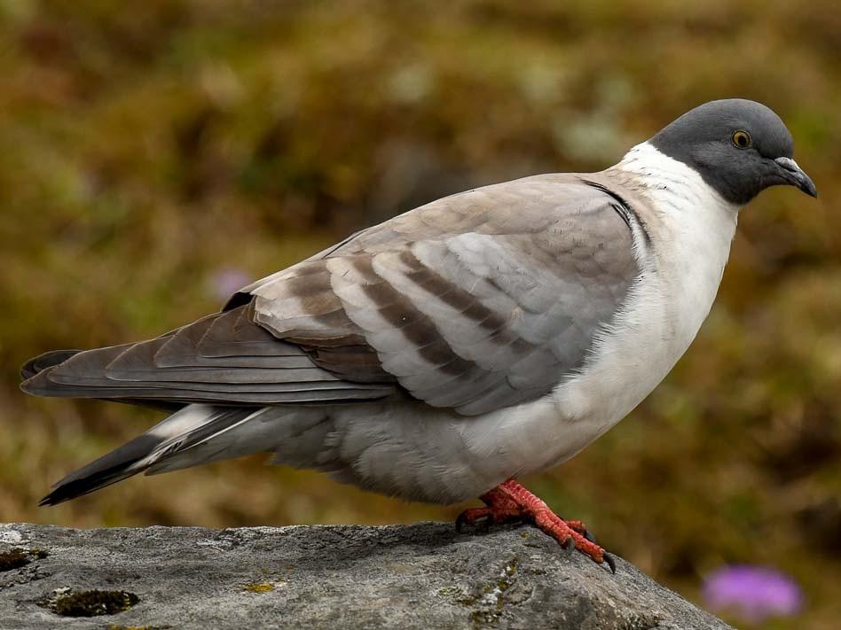 Snow Pigeon - Saurabh Sawant