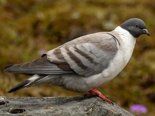 - Snow Pigeon
