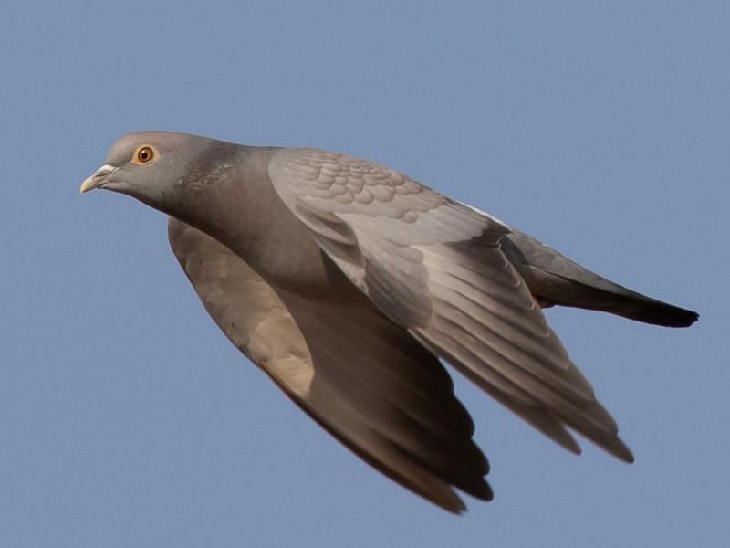 Yellow-eyed Pigeon - Frédéric PELSY