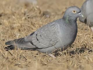 - Yellow-eyed Pigeon