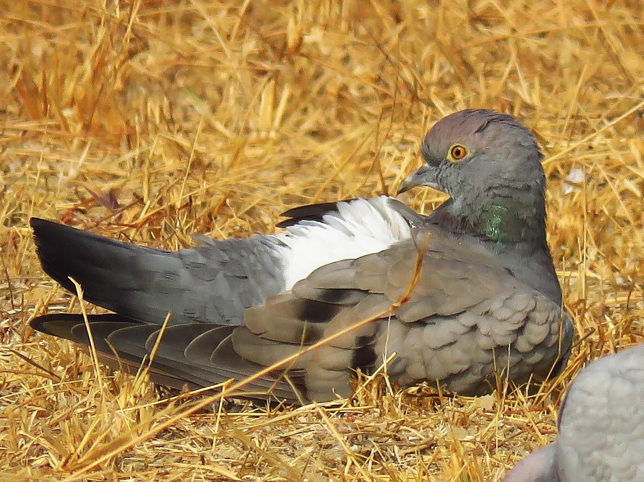 Yellow-eyed Pigeon - Ritvik Singh