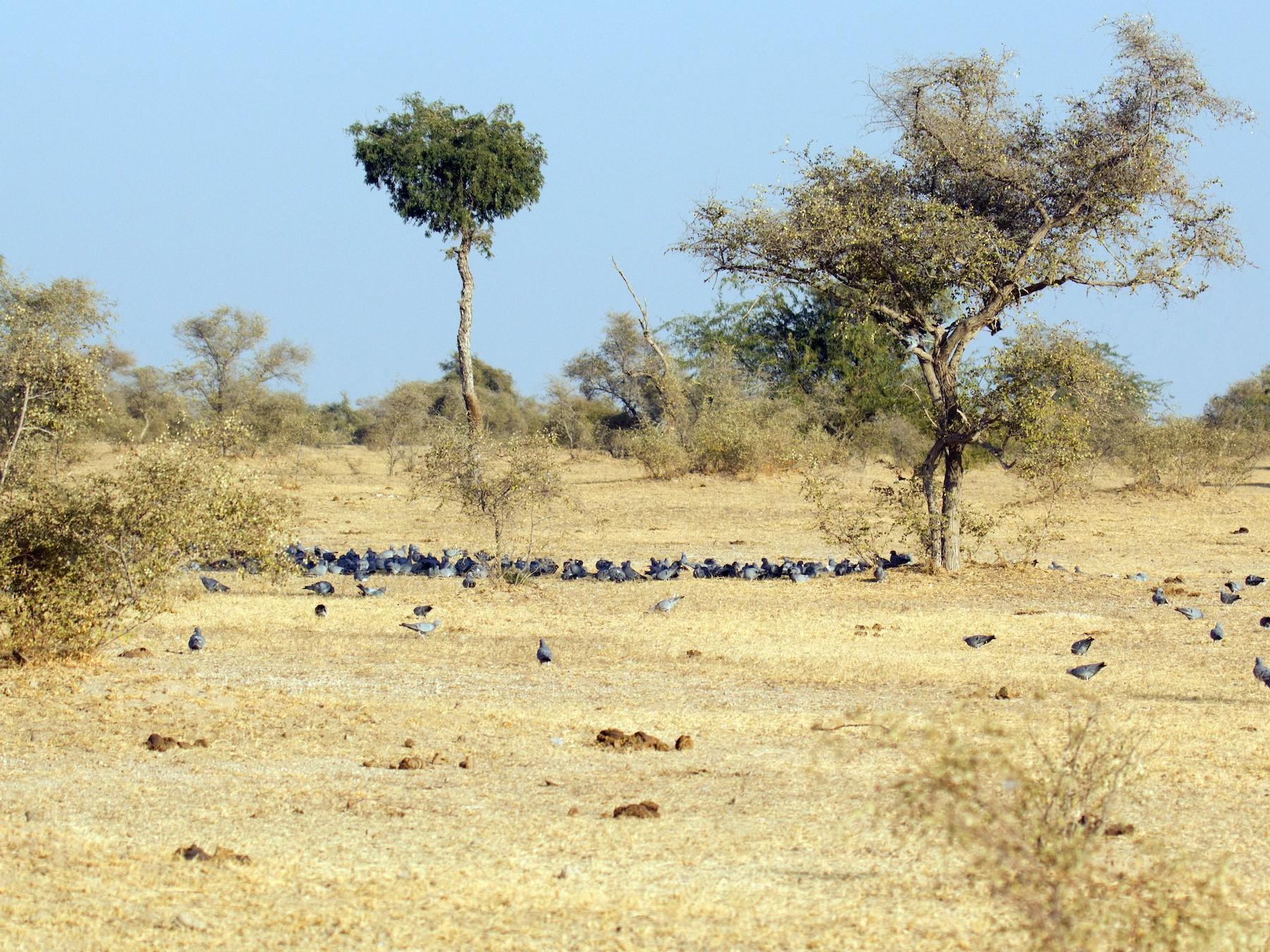 Yellow-eyed Pigeon - Krishna Murthy