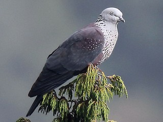 - Speckled Wood-Pigeon
