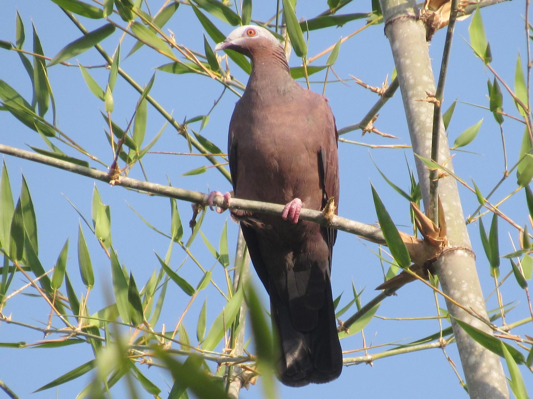 Pale-capped Pigeon - Sandhya Lenka