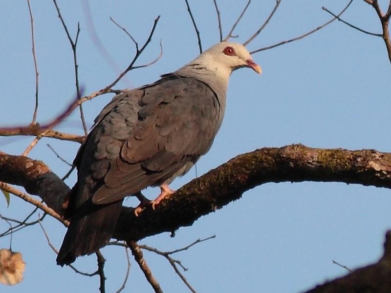 Andaman Wood-Pigeon - Sachin Shurpali