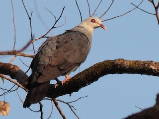 - Andaman Wood-Pigeon