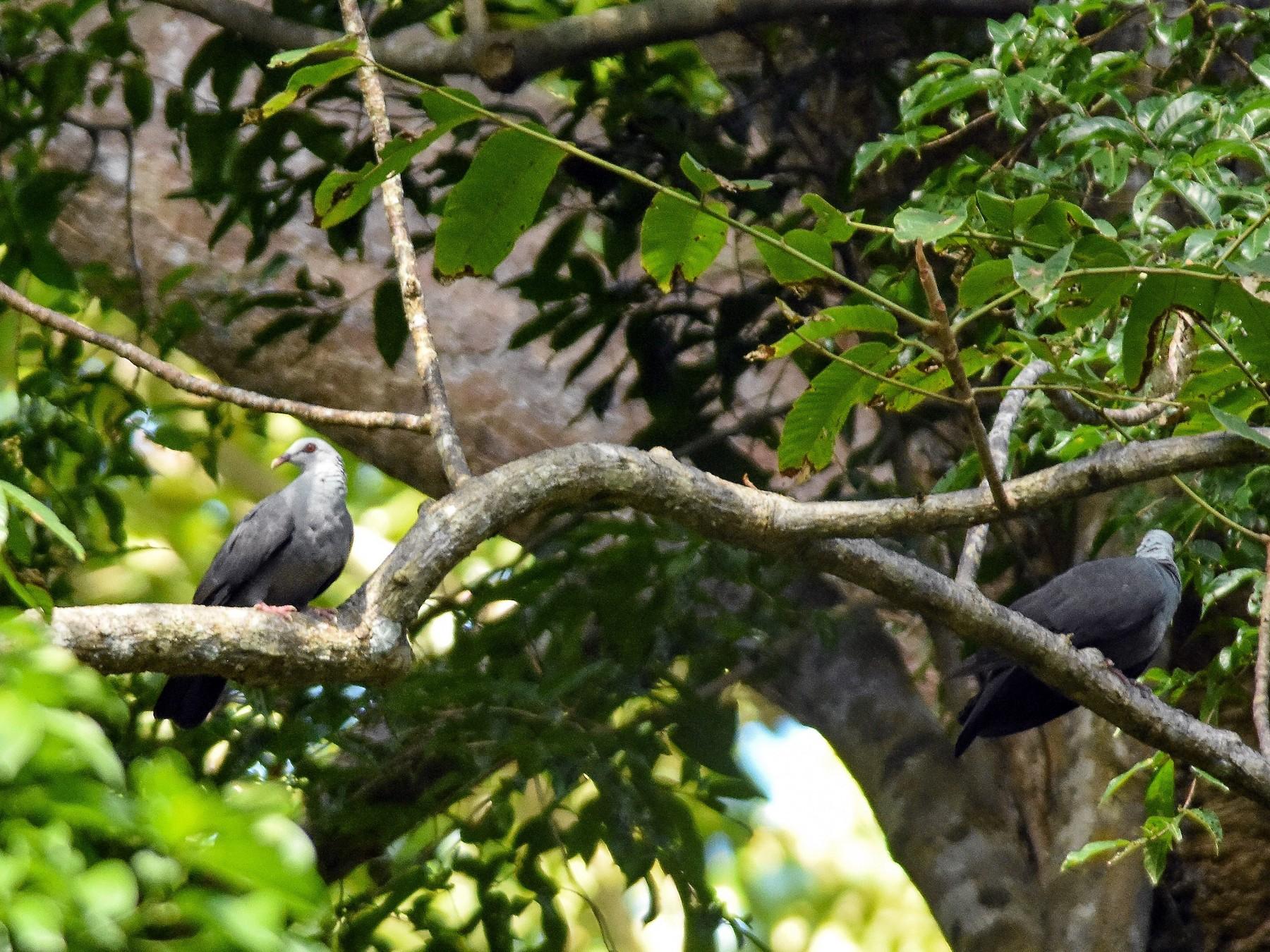 Andaman Wood-Pigeon - Daniele Mitchell