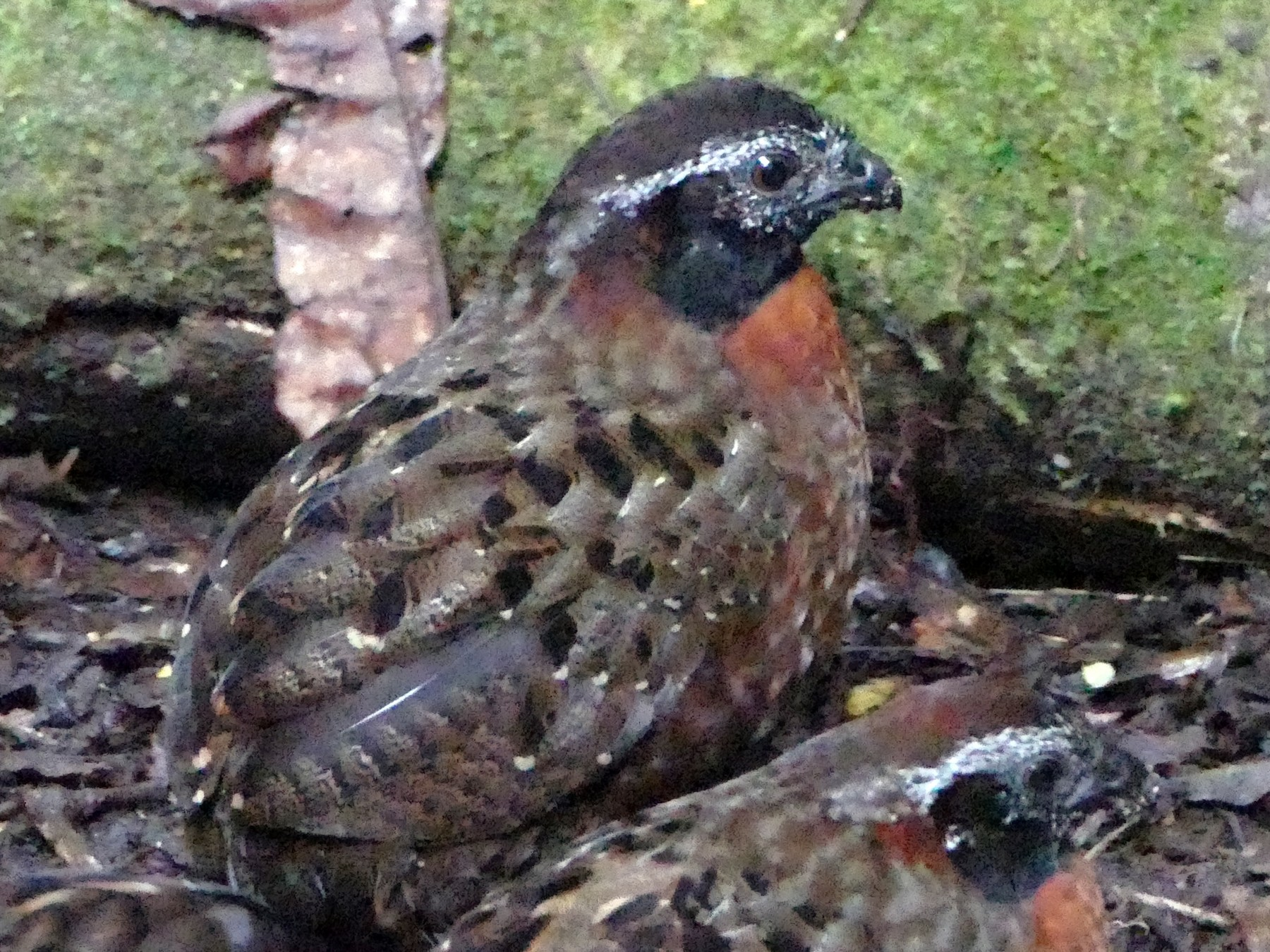 Rufous-breasted Wood-Quail - Peter Kaestner