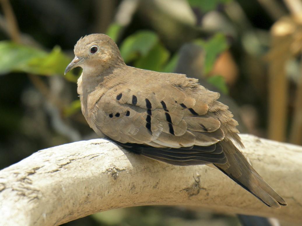 Ecuadorian Ground Dove - Marilyn Henry