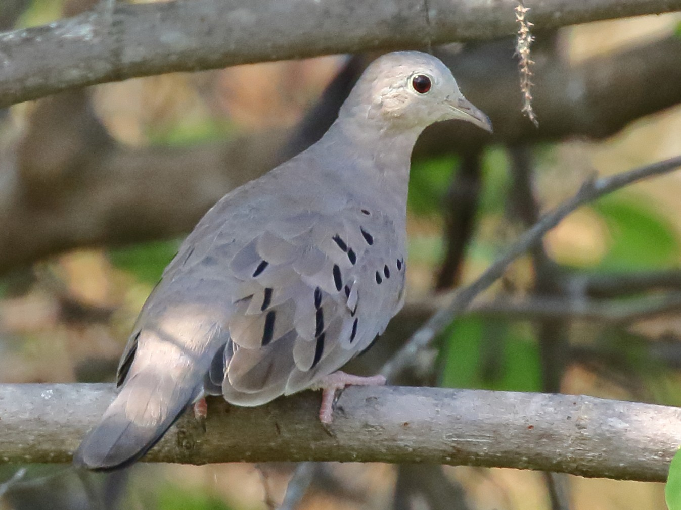 Ecuadorian Ground Dove - Douglas Faulder