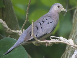- Ecuadorian Ground Dove