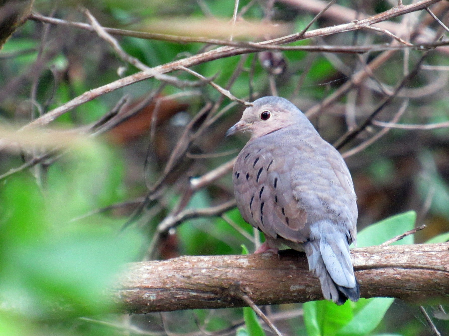 Ecuadorian Ground Dove - LEODAN ARCOS