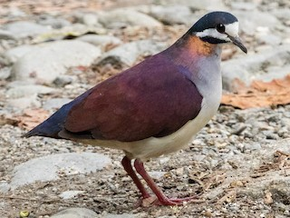 - Purple Quail-Dove