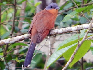 - Gray-capped Cuckoo