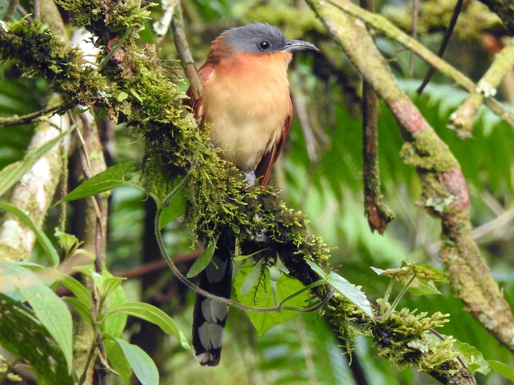 Gray-capped Cuckoo - Alto de San Miguel   Refugio de Vida Silvestre