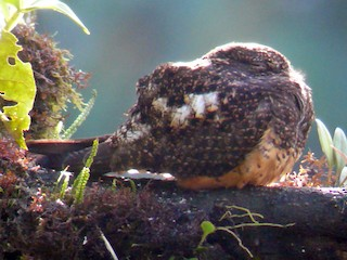 - Rufous-bellied Nighthawk